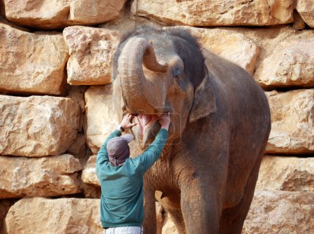 Asian elephant open the mouth