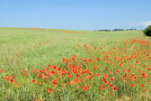 The meadow with poppies.