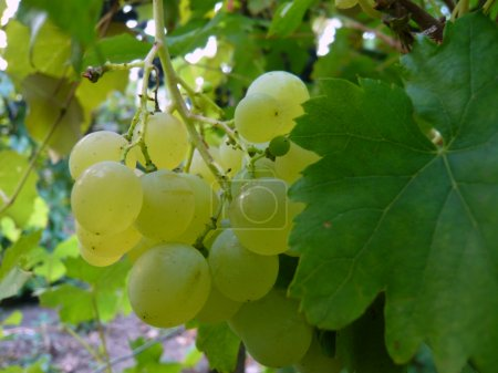 Photo for Ripe green grapes - Royalty Free Image