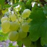 Ripe green grapes...