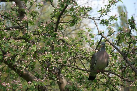 Pigeon on blossoming tree