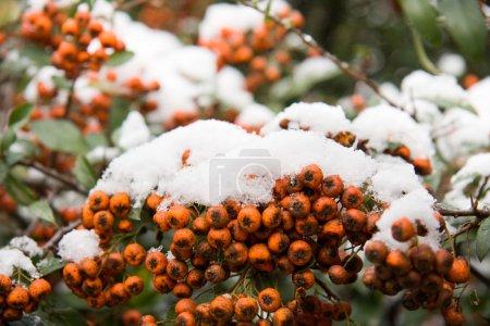 First snow on rowan berries