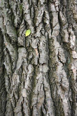Photo pour Feuille unique sur écorce d'arbre - fond de texture naturelle - image libre de droit