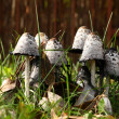 Постер, плакат: Group of poisonous mushrooms in a grass