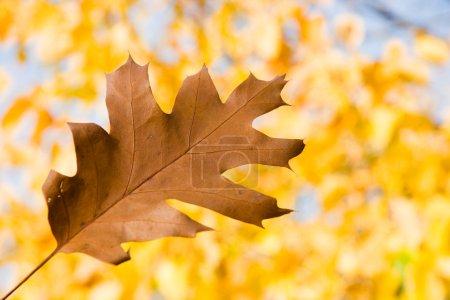 Brown oak leaf in autumn