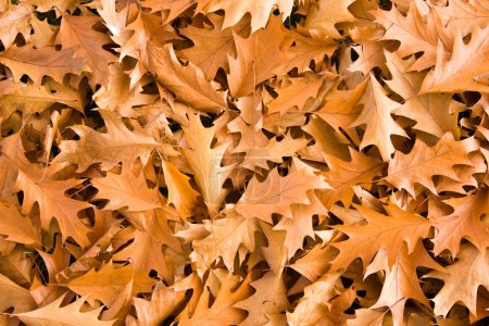 Photo for Golden oak leaves in bright autumnal day. - Royalty Free Image
