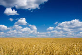 Golden oat field over blue sky