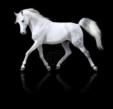 Photo pour Étalon blanc cheval arabe isolé sur fond noir - image libre de droit