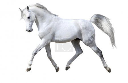 White horse isolated on white...