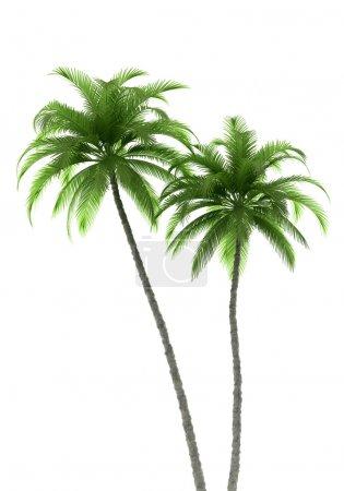 Photo pour Deux palmiers isolés sur fond blanc avec chemin de coupe - image libre de droit
