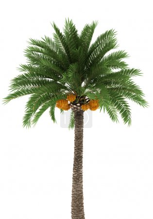 Photo for Palm tree isolated on white background with clipping path - Royalty Free Image