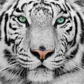 Gorgeous Sumatran tiger
