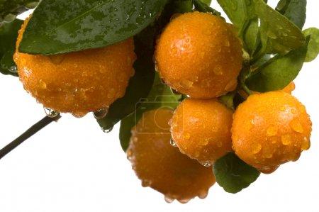 Photo pour Calamondin aux fruits et aux feuilles. fruits d'orange - image libre de droit