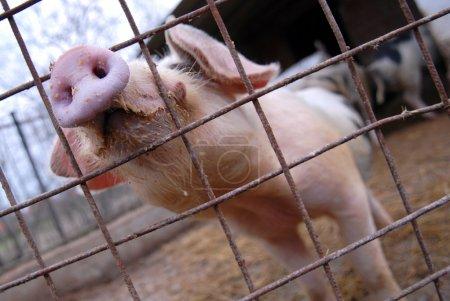 Swine...