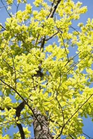 Tree crone