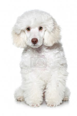White poodle puppy on white background