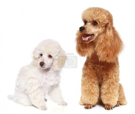 Toy and small poodle