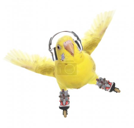 Budgerigar roller-skater in headphones
