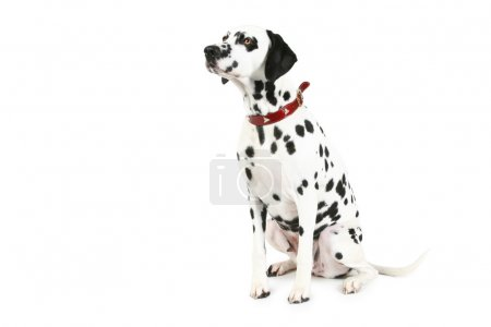 Dalmatian puppy. isolated