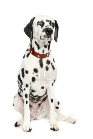 Dalmatian puppy in front