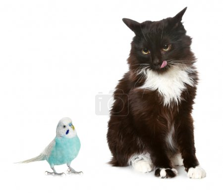 Black cat and blue parrot