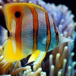 Six Spine Copper Band Butterfly Fish in a aquarium...