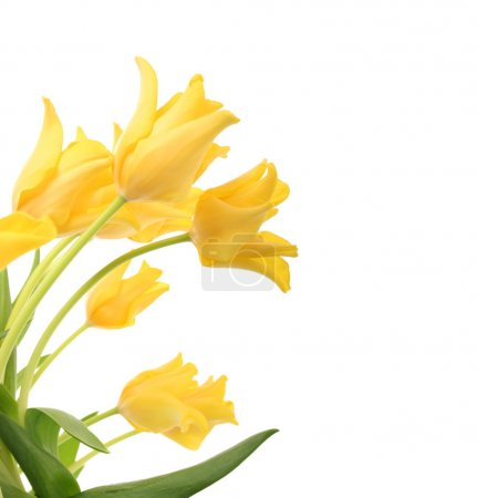 Photo for Bright yellow tulips isolated on white - Royalty Free Image