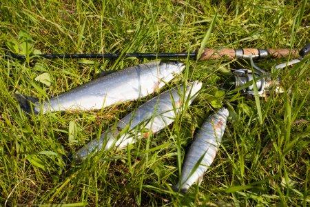 Salmons & spinner