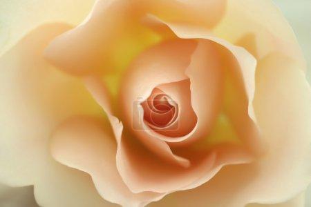 Foto de Hermoso color beige rosa en flor - Imagen libre de derechos