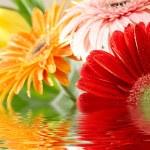 Closeup photo of varicoloured daisy-gerberas...
