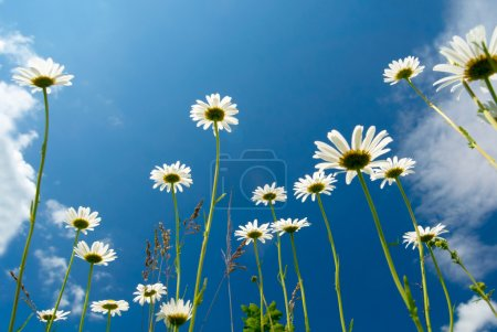 White daisies on blue sky background