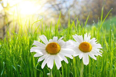 Two daisies on green grass