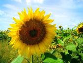 žluté slunečnice na hřišti