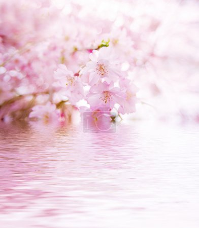 Spring cherry blossoms on pink background with wat...