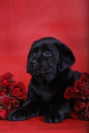 Labrador retriever puppy with red roses