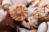 Seashells closeup