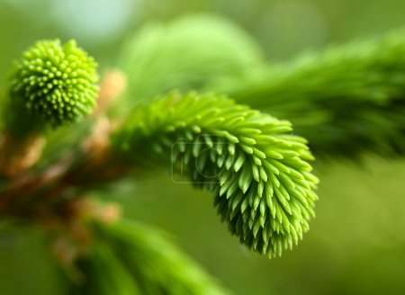 Photo for Young pine tree branch - Royalty Free Image