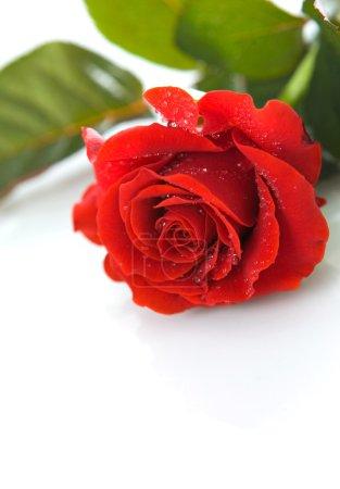 Photo pour Rose rouge avec gouttes de rosée sur fond blanc - image libre de droit