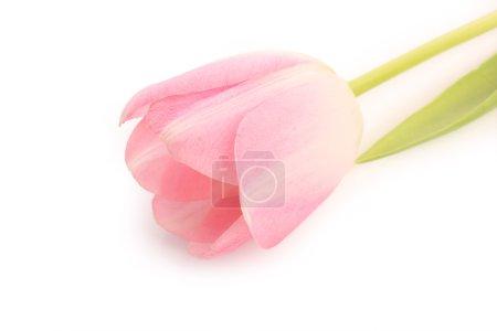 Photo pour Tulipe rose sur fond blanc - image libre de droit