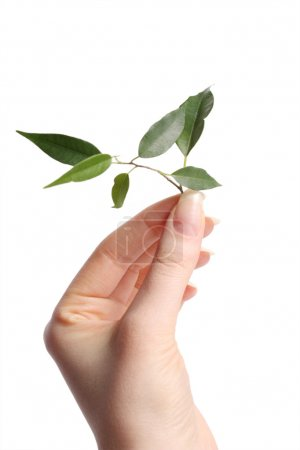 Photo for Branch with green leaflets on hand - Royalty Free Image