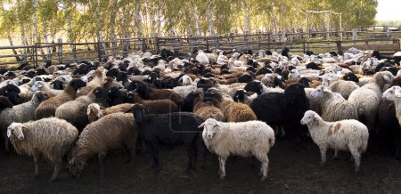 Herd of the ewes