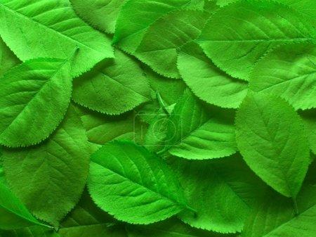 Photo pour Gros plan de feuilles vertes juteuses pour un fond - image libre de droit