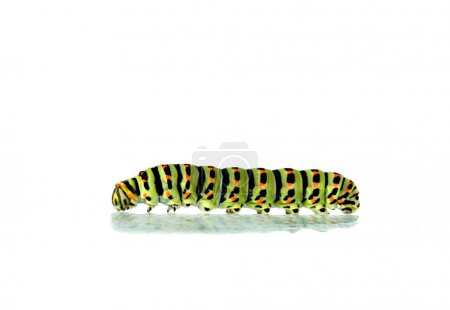 Caterpillar isolated on white background