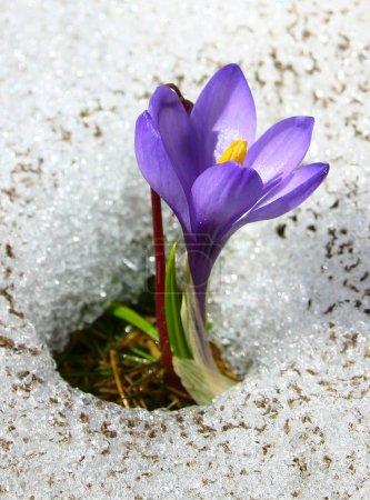 Violet crocus growing in the snow