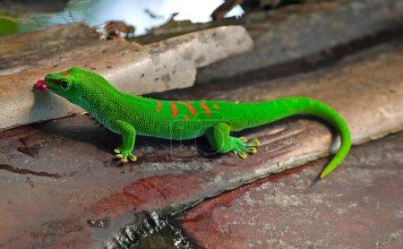 Мадагаскар гигантского дневного геккона