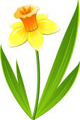 Narcissus flower over white EPS 8 AI JPEG