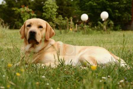 Labrador retriever on grassy meadow