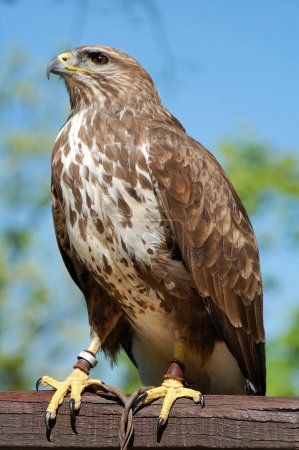 Photo for Common buzzard on a wood and captured. - Royalty Free Image