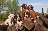Five puppies boxer