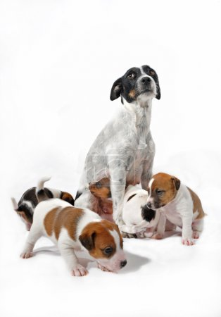 Mother and puppies jack russel terrier